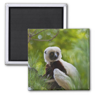 Coquerel's Sifaka in the forest 2 Magnet