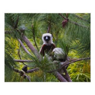Coquerel's Sifaka in the forest Poster