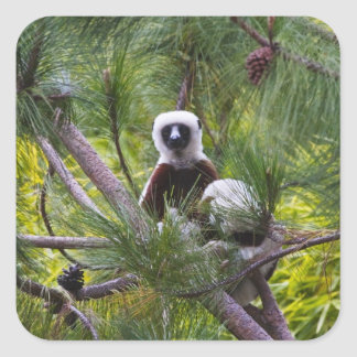 Coquerel's Sifaka in the forest Square Sticker