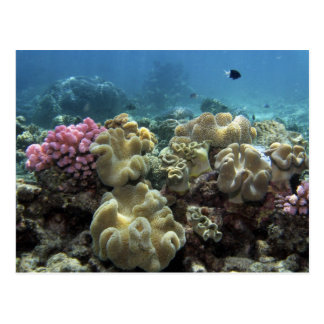 Coral Agincourt Reef Great Barrier Reef Post Card