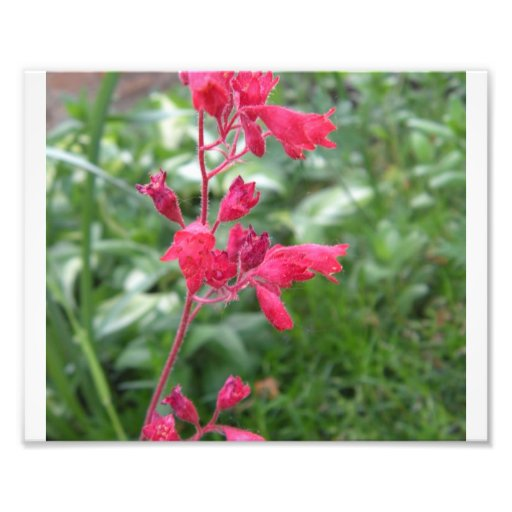 Coral Bells Photograph