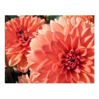 Coral Orange Dahlia Postcard