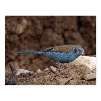 Cordon-Bleu Postcard