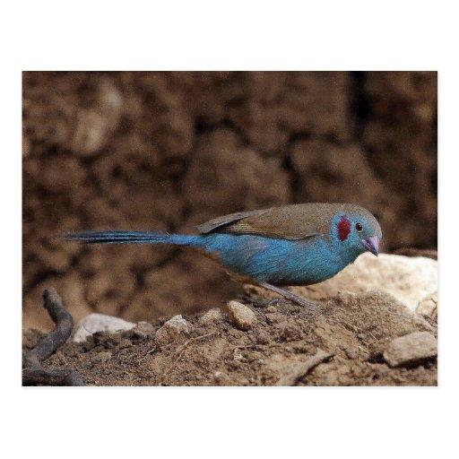 Cordon-Bleu Post Card