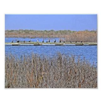 cormorants in a line Photo