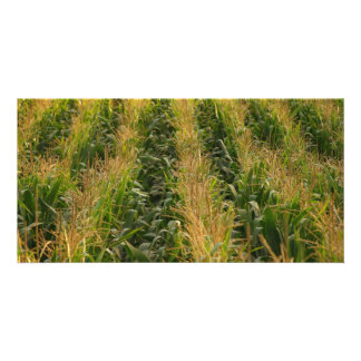 Corn field picture card