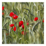 Corn Poppies Poster