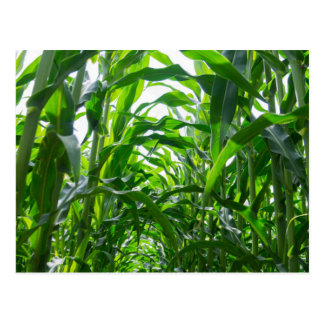 Corn row postcard
