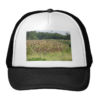 Cornfield and common starlings cap