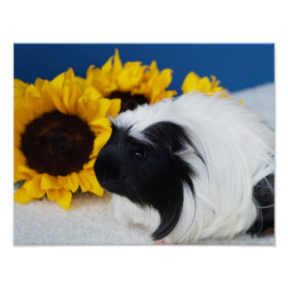 Coronet Guinea Pig Poster