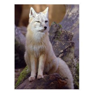 Corsac Fox Postcard