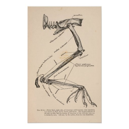 Corvus corax sinuatus poster