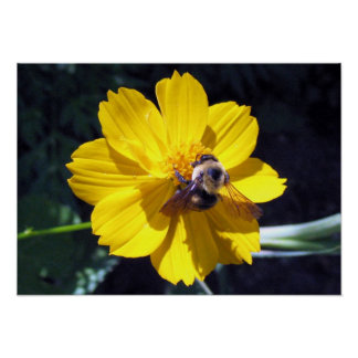 Cosmos Attracts Bumblebee Poster
