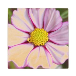 Cosmos Flower (bidens formosa) Wood Coaster