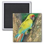 Costa Rica, Ara Ambigua, Great Green Macaw.