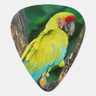 Costa Rica, Ara Ambigua, Great Green Macaw. Guitar Pick