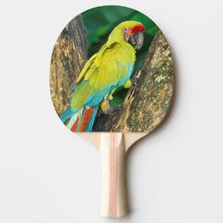 Costa Rica, Ara Ambigua, Great Green Macaw. Ping Pong Paddle