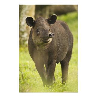 Costa Rica. Bairdis Tapir Tapirus bairdii) Art Photo