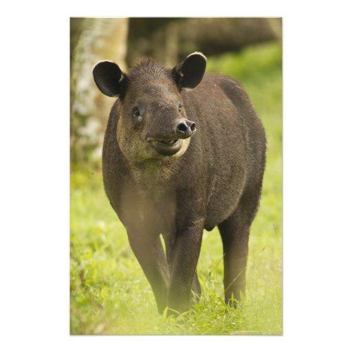 Costa Rica. Bairdis Tapir Tapirus bairdii) Photo Print