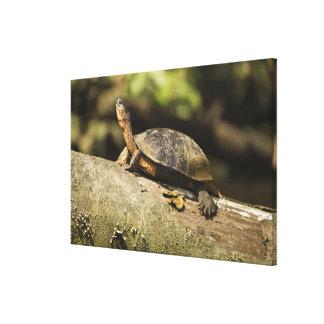 Costa Rica. Black Wood Turtle Rhinoclemmys Canvas Print