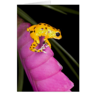 Costa Rica. Close-up of poison dart frog on Card