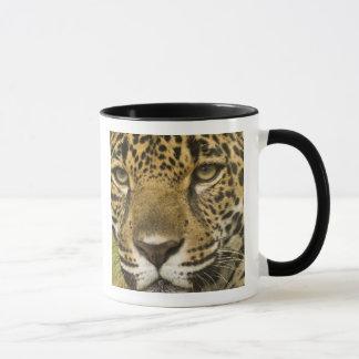Costa Rica. Jaguar Panthera onca) portrait Mug