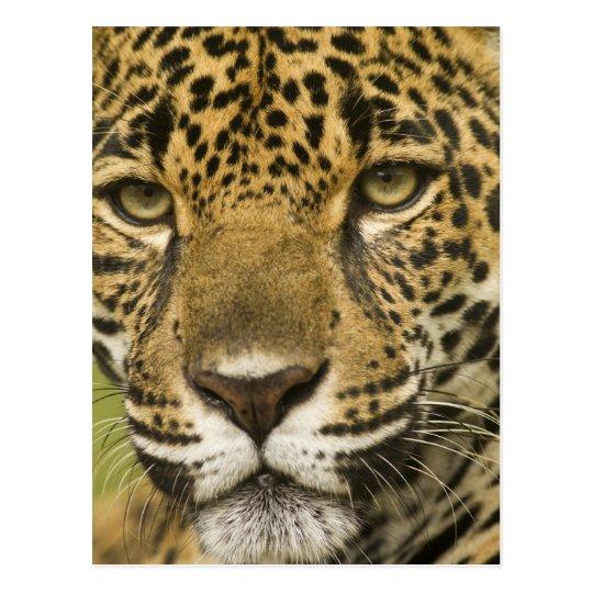 Costa Rica. Jaguar Panthera onca) portrait Postcard