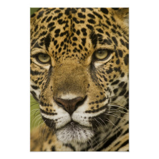 Costa Rica. Jaguar Panthera onca) portrait Poster