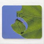Costa Rica, Leaf cutter ants, Atta cephalotes