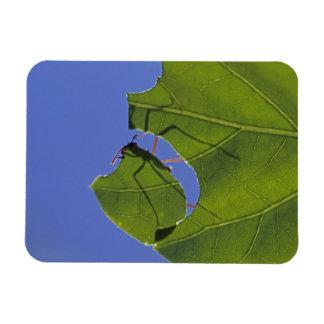 Costa Rica, Leaf cutter ants, Atta cephalotes Magnet