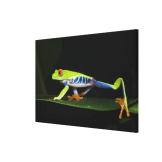 Costa Rica, Red-eyed Tree Frog (Agalychnis Canvas Print