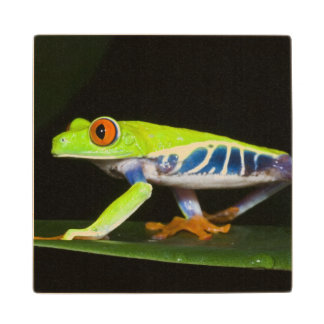 Costa Rica, Red-eyed Tree Frog (Agalychnis Wood Coaster