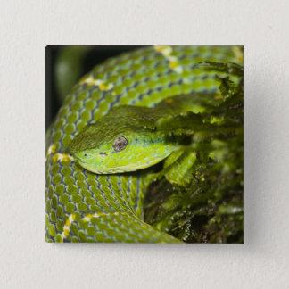 Costa Rica. Striped Palm Viper Bothriechis 15 Cm Square Badge