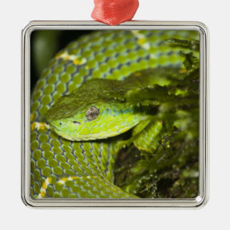 Costa Rica. Striped Palm Viper Bothriechis Christmas Ornament