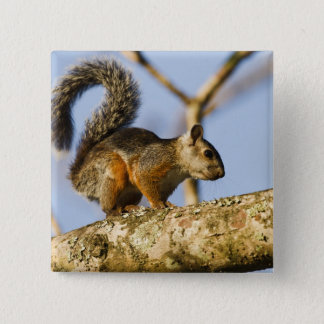 Costa Rica. Variegated squirrel Sciurus 15 Cm Square Badge