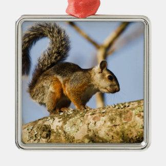 Costa Rica. Variegated squirrel Sciurus Christmas Ornament
