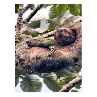 Costa. Rican sloth Postcard