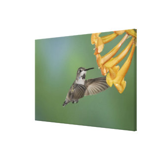 Costa's Hummingbird, Calypte costae, young Canvas Print