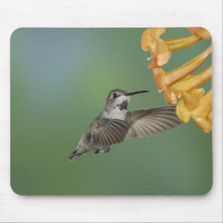 Costa's Hummingbird, Calypte costae, young Mouse Pad