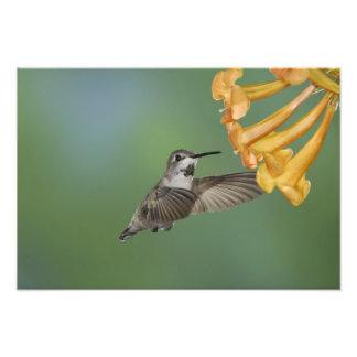 Costa's Hummingbird, Calypte costae, young Photo Print