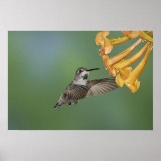 Costa's Hummingbird, Calypte costae, young Poster