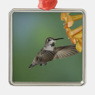 Costa's Hummingbird, Calypte costae, young Silver-Colored Square Decoration