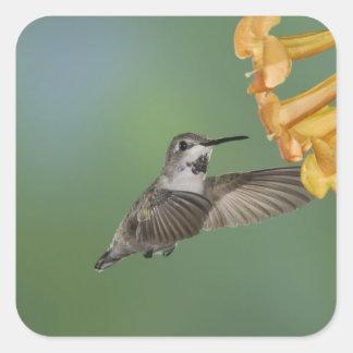 Costa's Hummingbird, Calypte costae, young Square Sticker