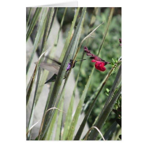 Costa's Hummingbird Greeting Cards