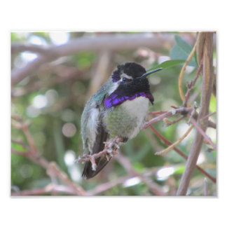 Costa's Hummingbird Photo Art