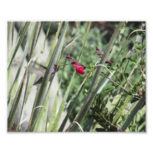 Costa's Hummingbird Photo Print
