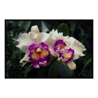 Cotton Candy Orchid Poster -60x40 -or smaller