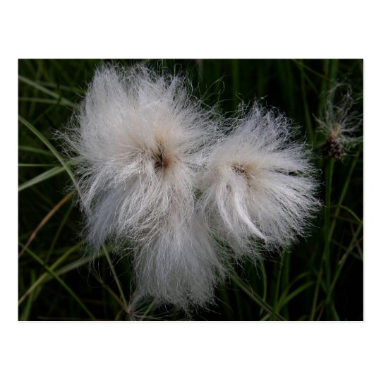 Cotton Grass on Unalaska Island Postcard