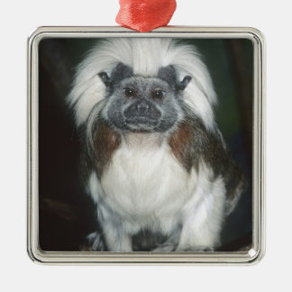 Cotton-top Tamarin Saguinus oedipus) Captive, Christmas Ornament