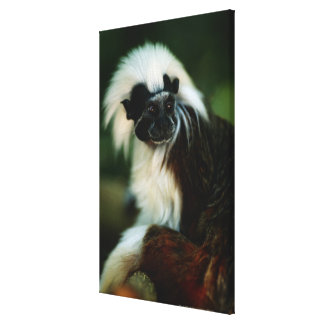 Cotton top tamarin (Saguinus oedipus) sitting, Canvas Print